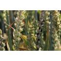 18 mars au 14 septembre 2021 : Carie du blé en AB, comprendre pour prévenir et gérer