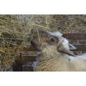 15 au 18 juin 2021 : Produire des agneaux en AB : repères techniques et économiques